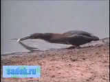 Умная птица ловит рыбу на хлеб